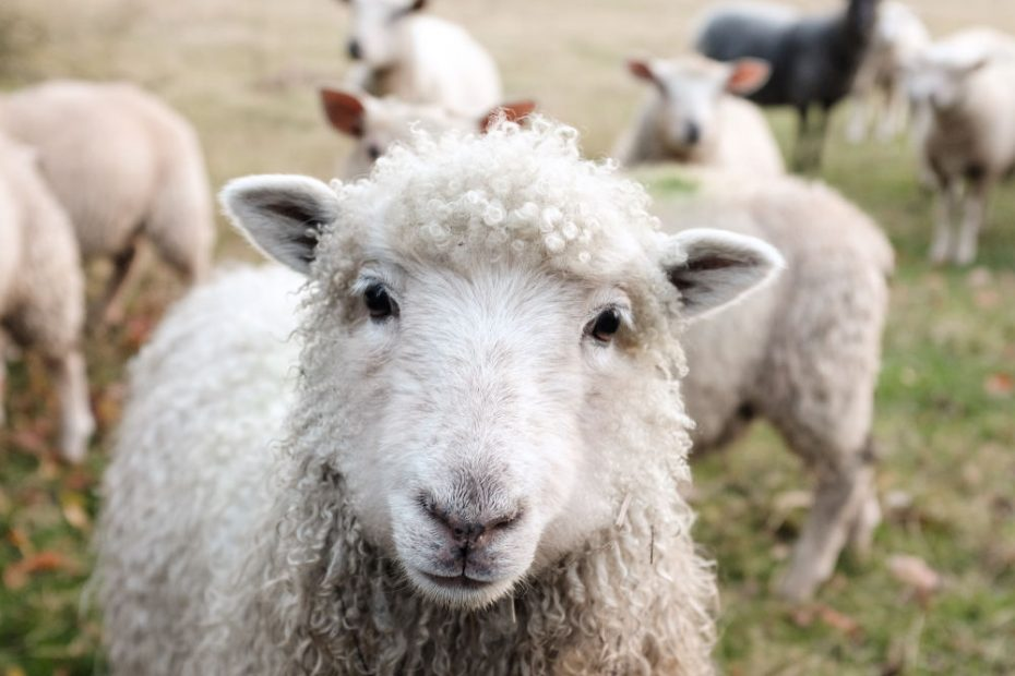 Most people think of sheep when they think of wool, but they aren't the only wool-producing animals