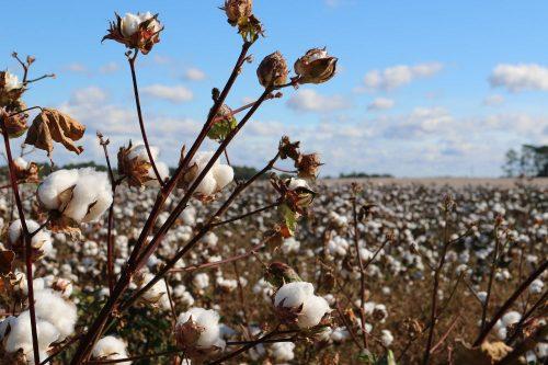 Unless it's certified organic cotton, sadly cotton isn't an eco-friendly yarn